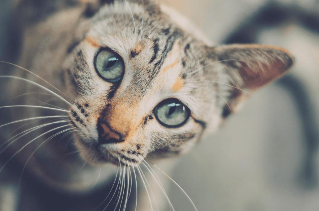 blue eyes cat looking