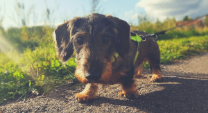 dachshund with harness