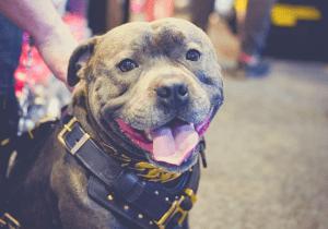 pitbull in a harness