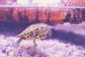 turtle in tank