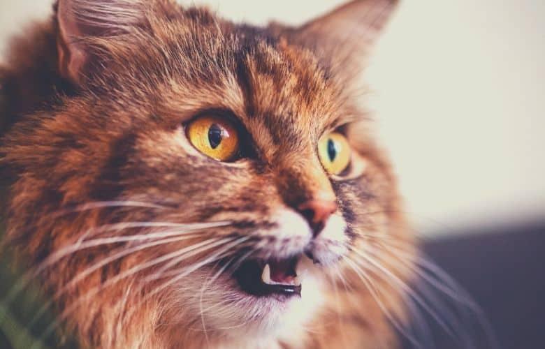 grumpy cat shock collar