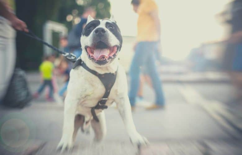 Best harness for pitbulls