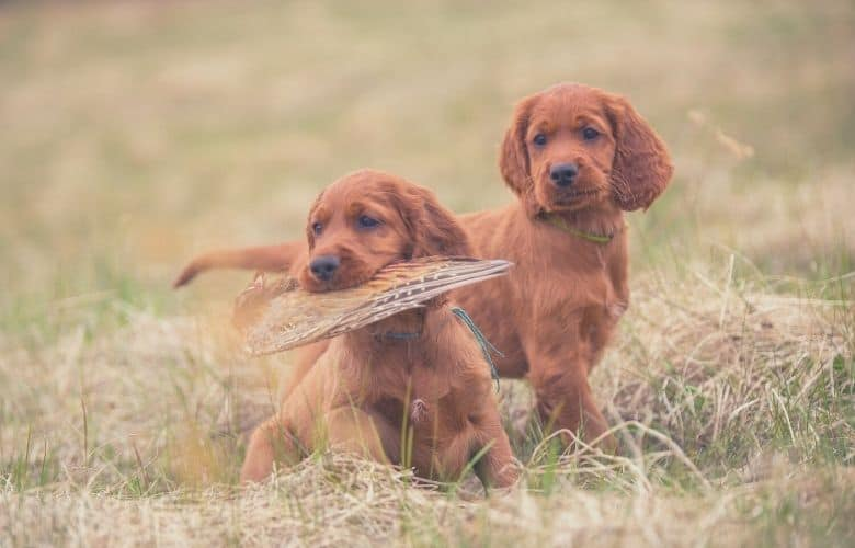 hunting dog food puppies