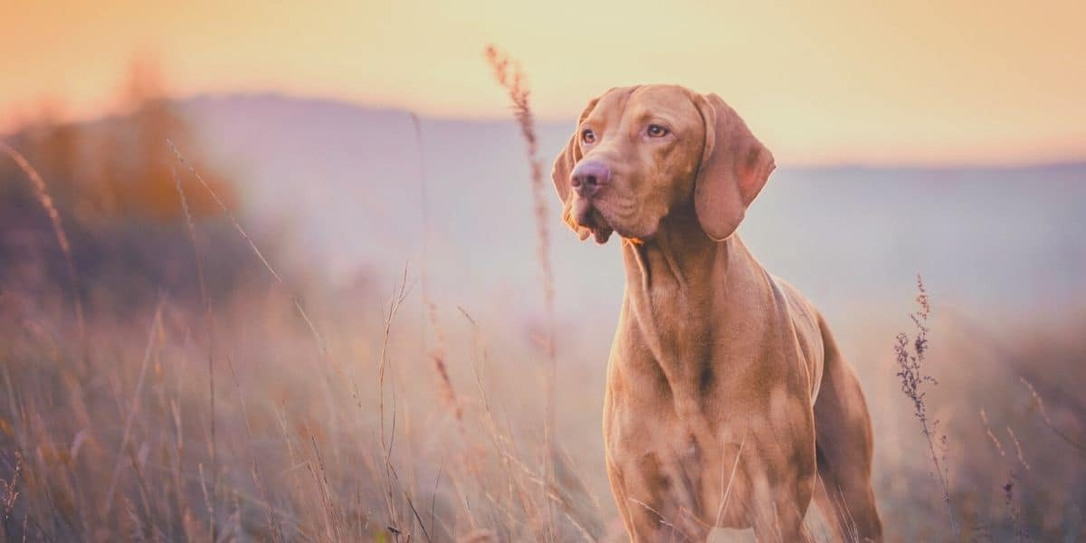 vizsla hunting dog