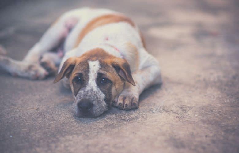 Dog lays
