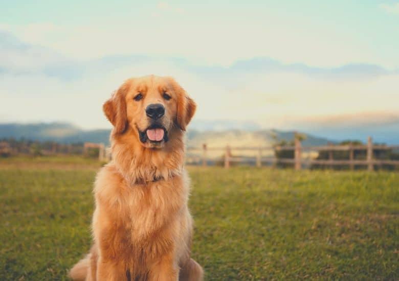 Best dog food for golden retrievers