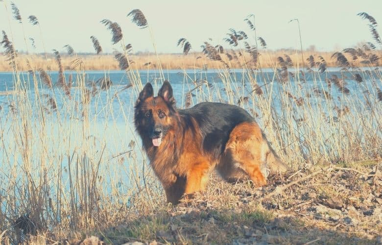 long coat german shepherd