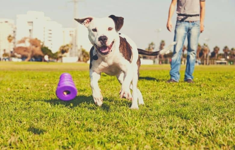 best dog toy for pitbulls