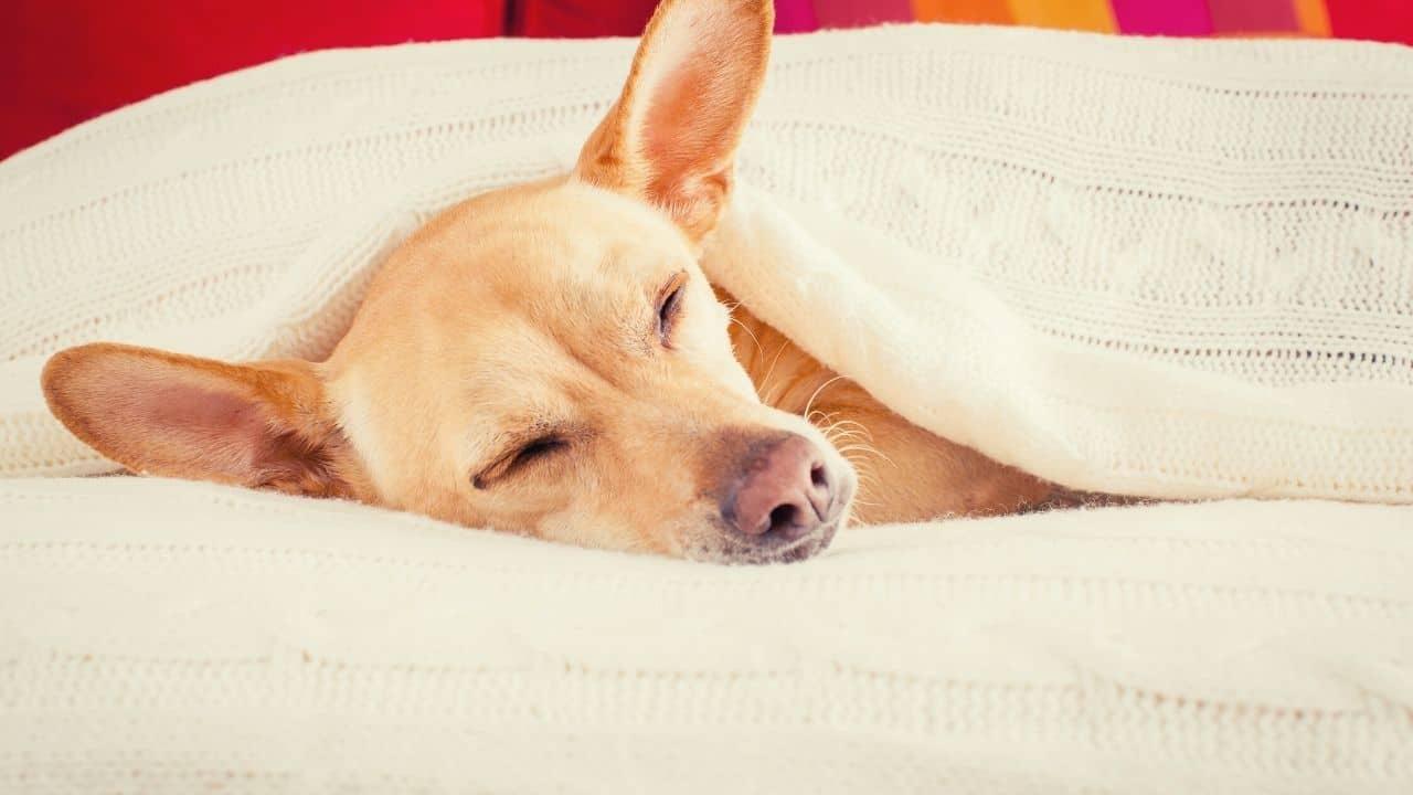 sick dog sleeps